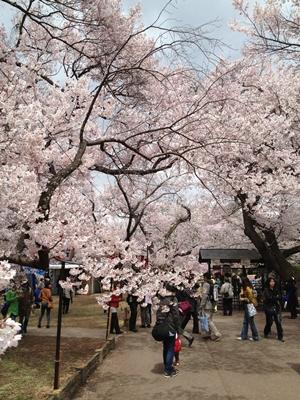 高遠桜 画像